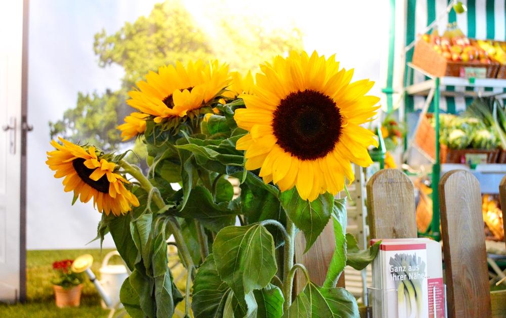 BioNord Sonnenblumen